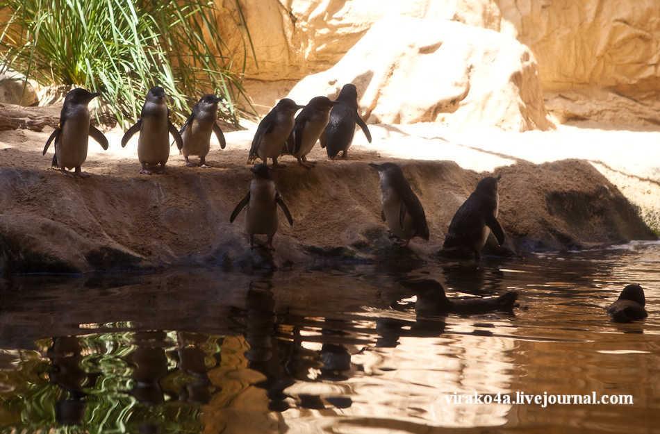 антарктические пингвины