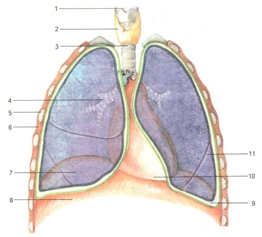 b437d34d2b2223f1cb38b6b80e24f58d 1 Строение и структура легких и дыхательных путей