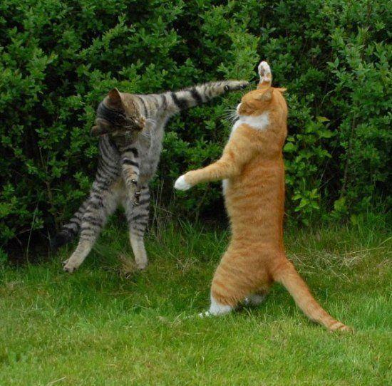 Битва двух котов